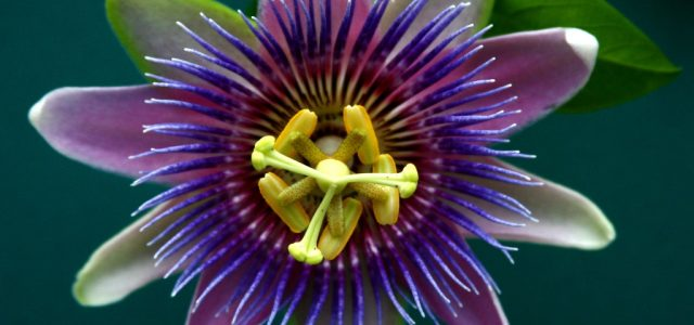 Sleep More Soundly With Passion Flower